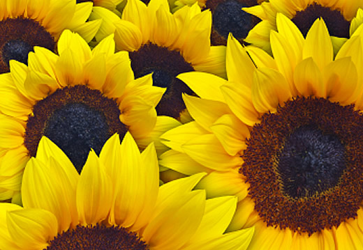 Image of lots of sunflowers